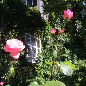 Spring Roses in Basel