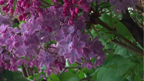 Lilacs by Laurie Early